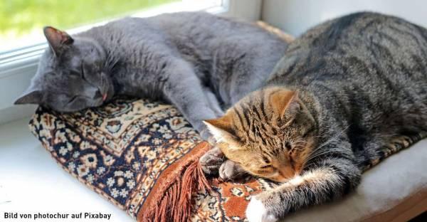 FeliFine-Katzen-vergesellschaften-Weitere-Katze-anschaffen